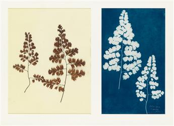 (CIRCLE OF ANNA ATKINS) Adiantum Capillis-Veneris, Madeira from the Hatton Fern Album.
