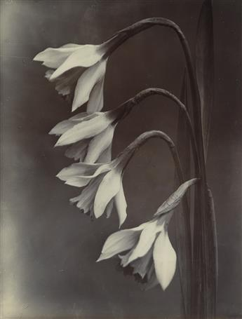 CHARLES JONES (1866-1959) Narcissus, William Goldring.
